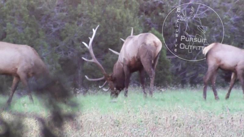 Arizona Big Bull.