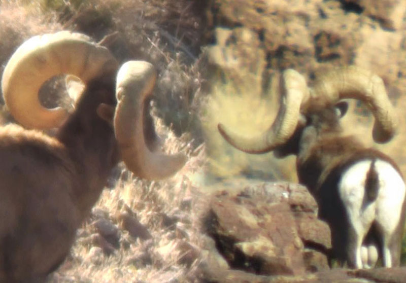 Both of these rams are Nelsoni Desert Bighorn B&C Record Book Rams, but  as you can see their horn structures are extremely different.