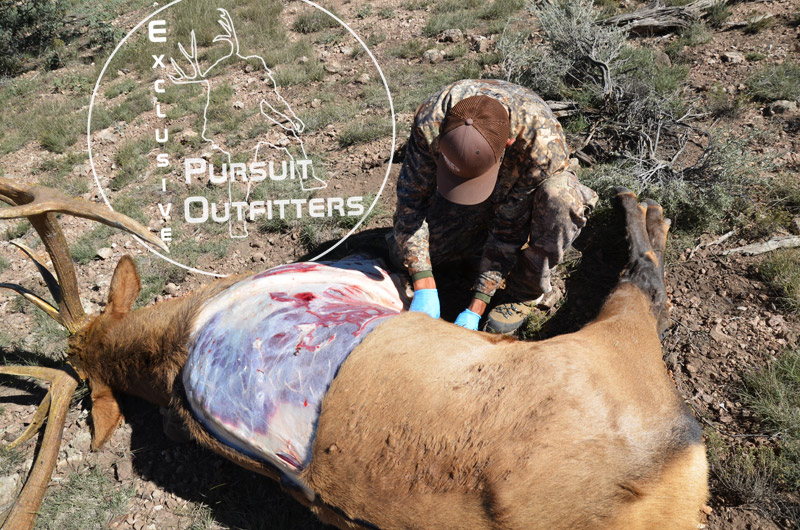 Caping Elk for Shoulder Mount.