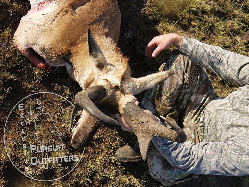 Top view of Shane's giant Arizona Pronghorn Antelope.