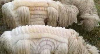 Creative Sheep Grooming