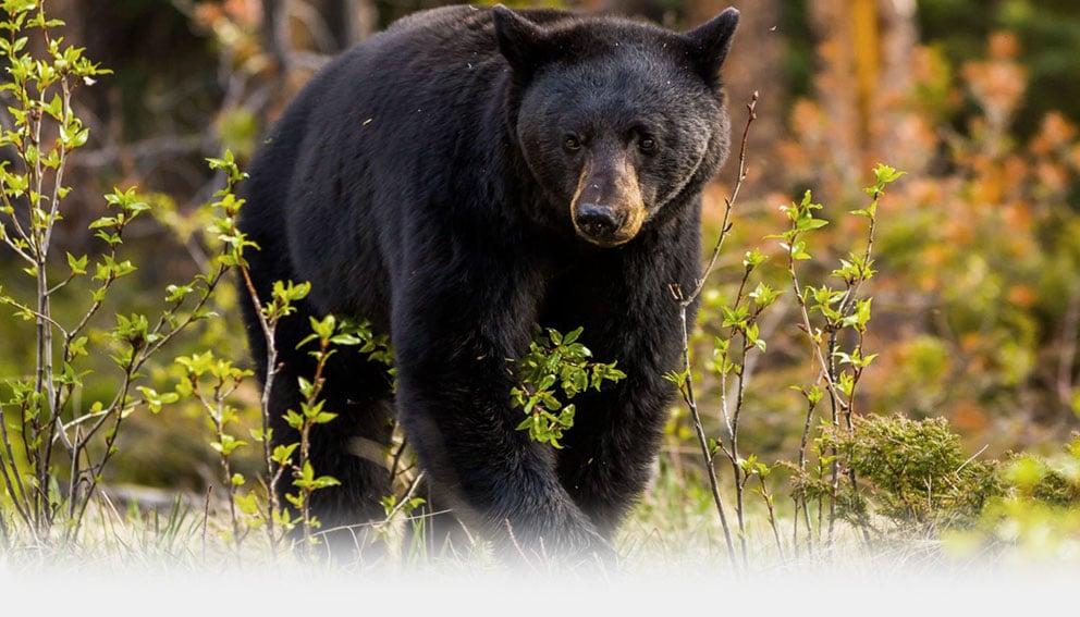 Bear Hunting Saskatchewan