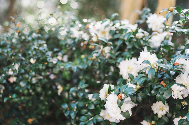 Blooming Camellias Charleston