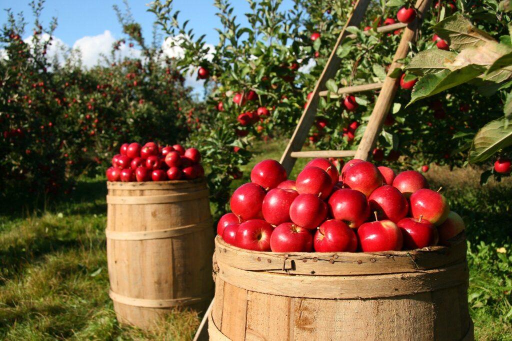 Harvested apples showing abundance.