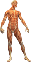 Muscle_Structure_sm100x200