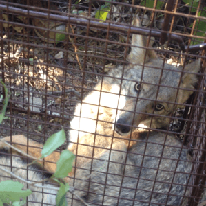 Coyote Removal Services