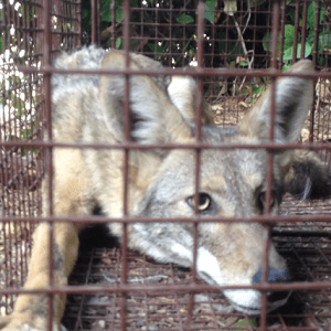 Coyote Trapping & Removal