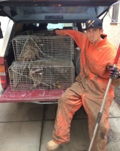Raccoon Trapping and Removal By Urban Wildlife Trapping Experts