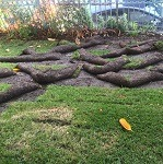 Raccoons Damage Yard In Riverside, CA.