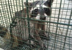Raccoon Trapping Methods