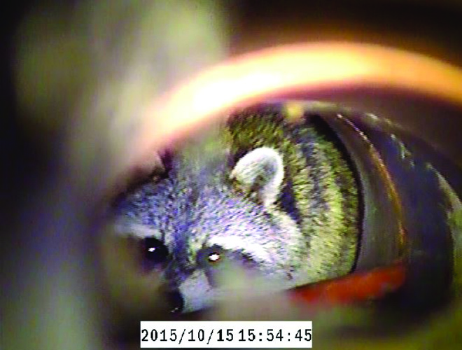 Pictured here are several sewer issues: A raccoon in a pipe, grease build up, and a collapsed pipe