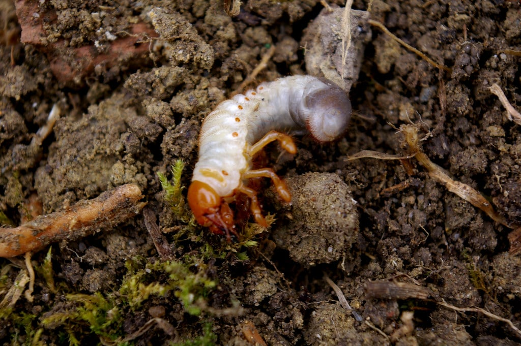 How To Treat Chafer Beetles Naturally with GrubGONE