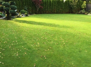 Bentgrass sod for backyard lawn by Western Turf Farms