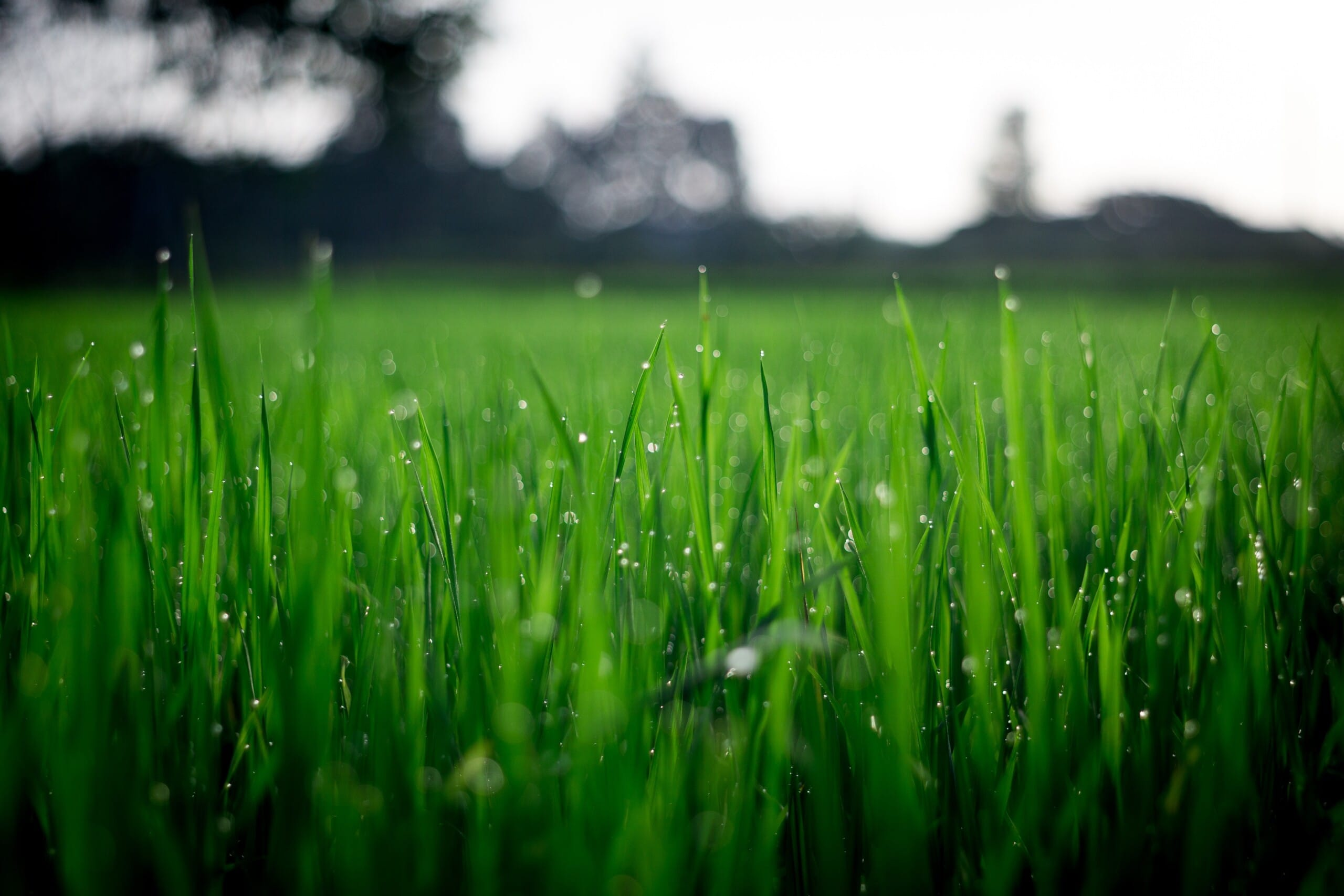 What's the best sod grass for the Okanagan?