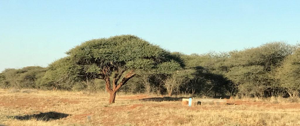 Botswana Tree