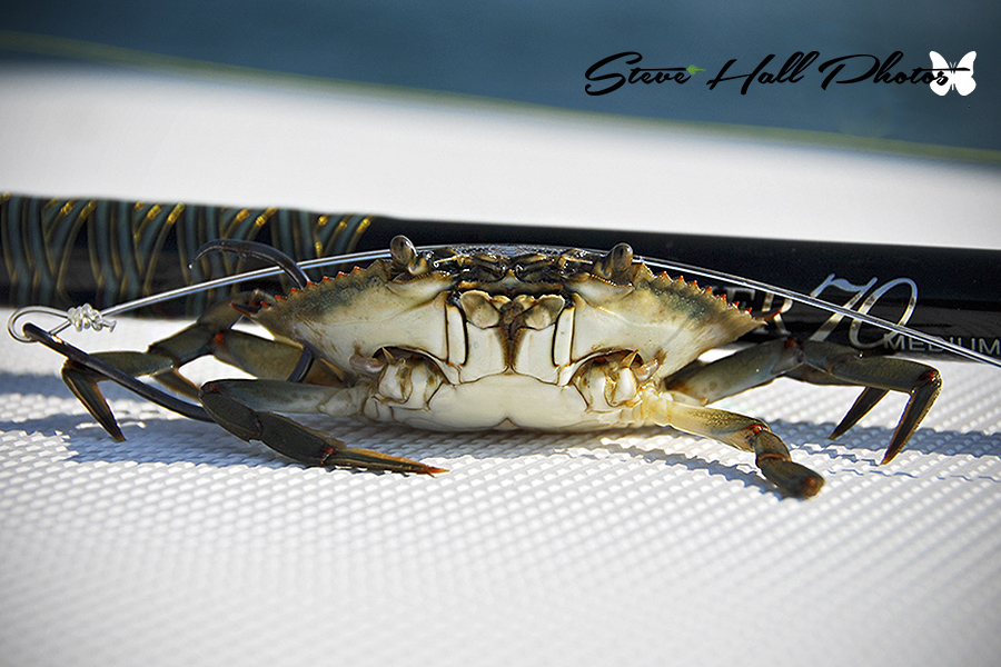 Tarpon Crab by Steve Hall