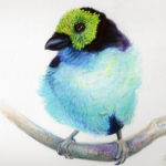 Paradise Tanager Art