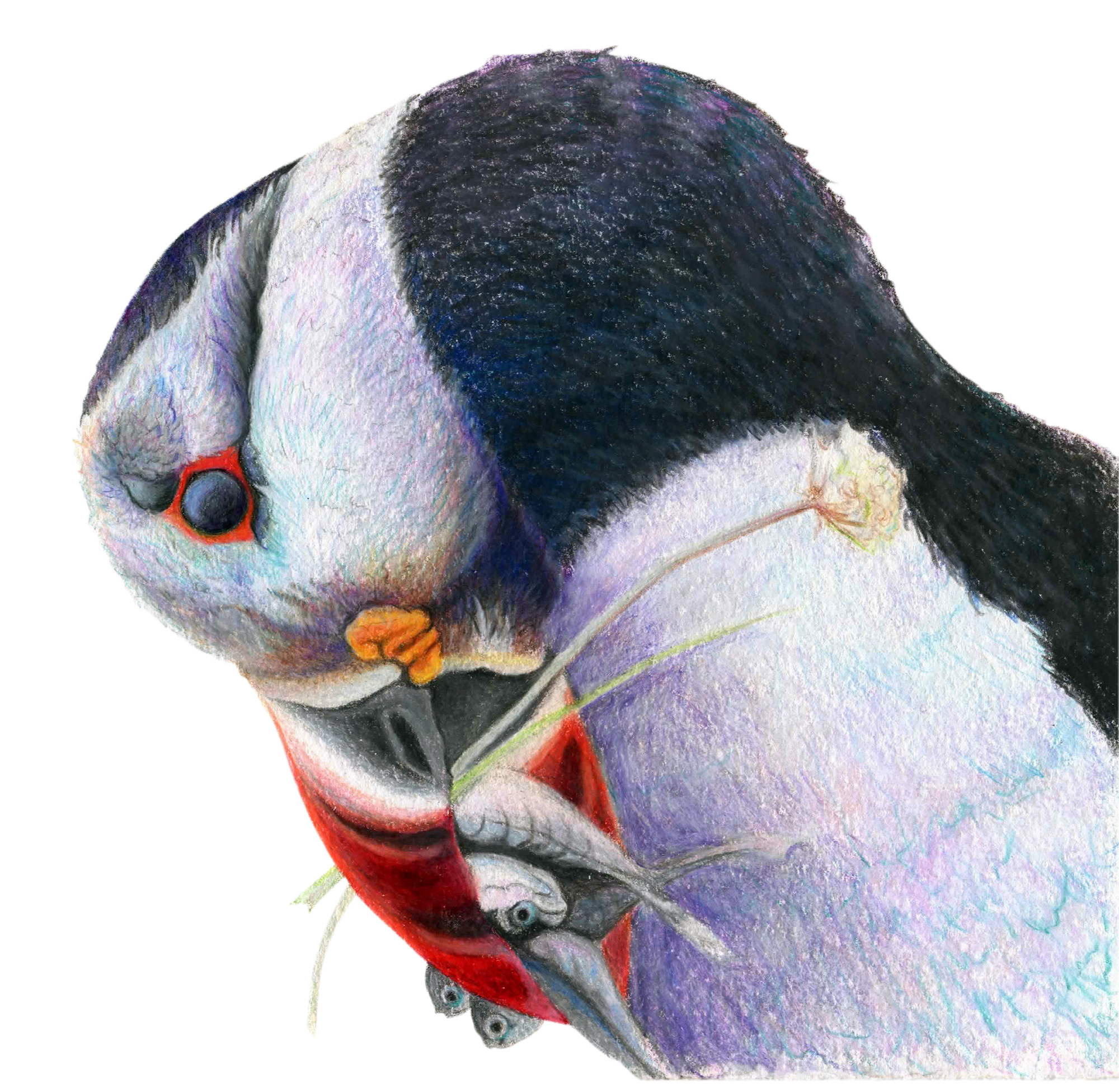 """Gone Fishin"", Atlantic Puffin Original Prismacolor Artwork by Allison Richter"
