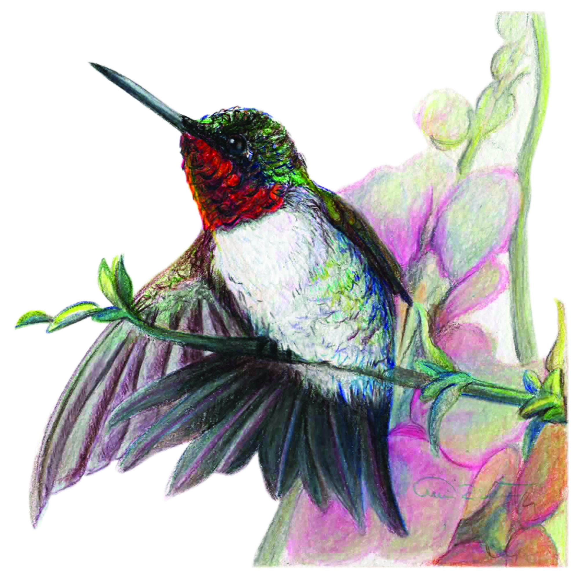 """Branch Out"", Ruby Throat Hummingbird Original Prismacolor Artwork by Allison Richter"