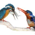 """It Sill Counts"", Kingfishers Original Prismacolor Artwork by Allison Richter"