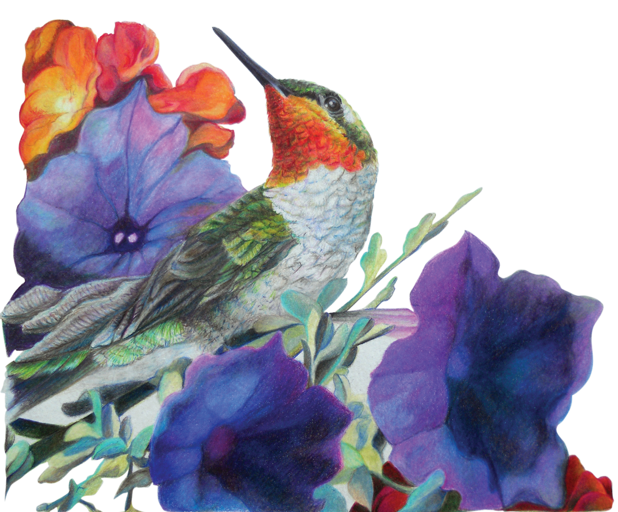 """Pointed Remark"", RubyThroat Hummingbird Prismacolor Original Artwork by Allison Richter"