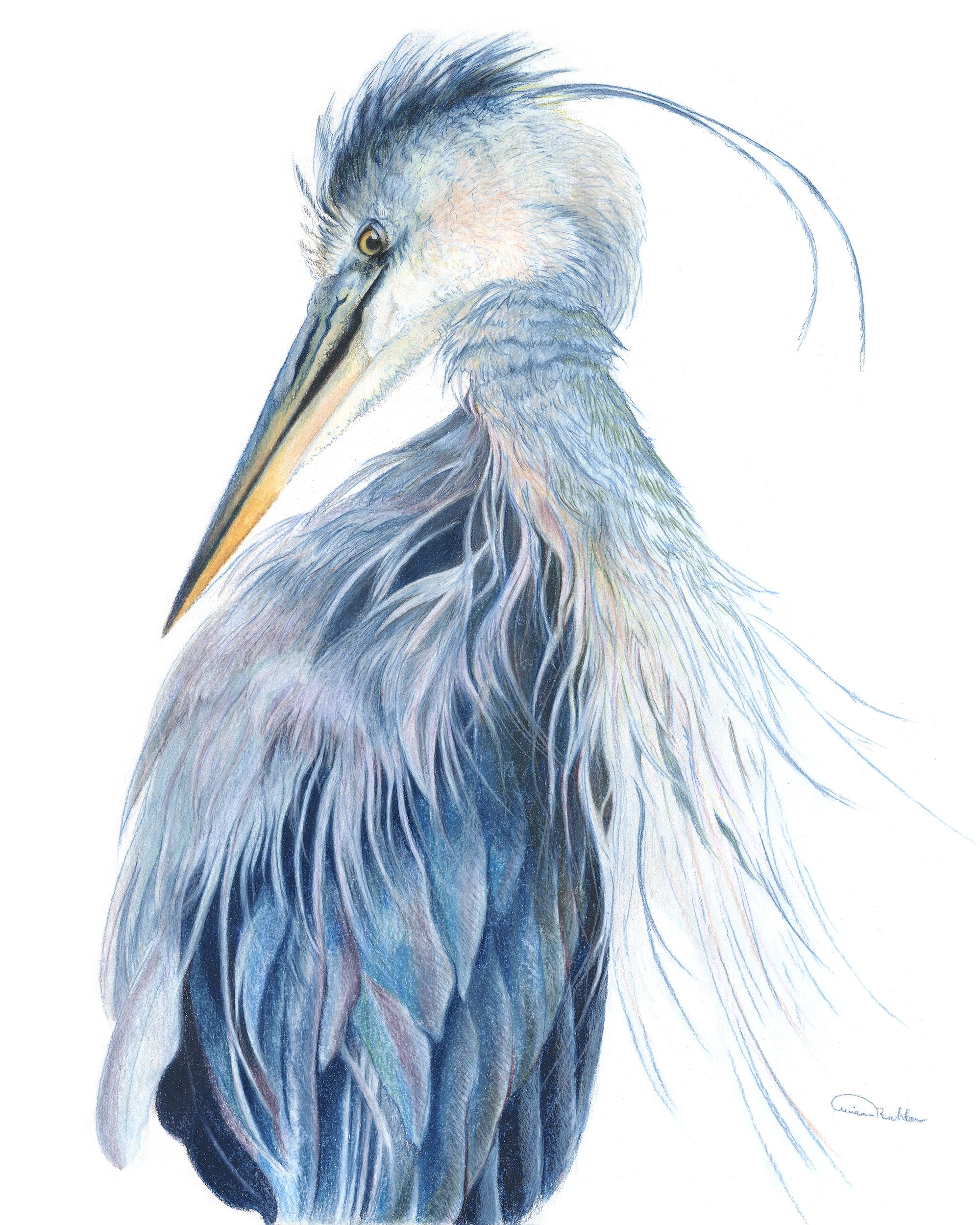 """""""Presumed Melancholy"""", Blue Heron Original Prismacolor Artwork by Allison Richter"""