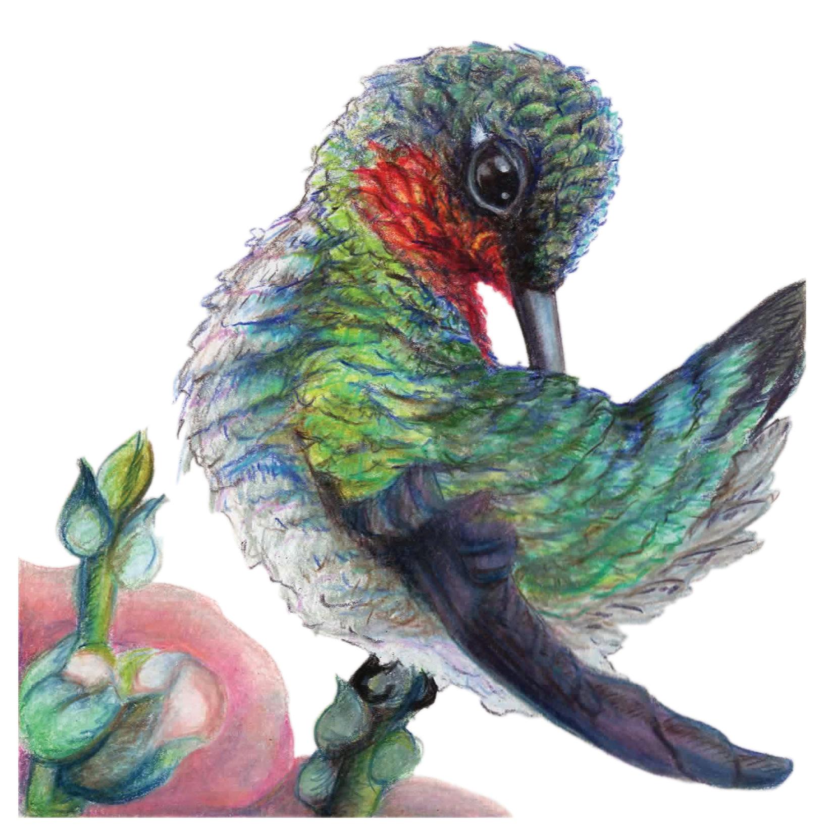 """The Right Spot"", Ruby Throat Hummingbird Original Prismacolor Artwork by Allison Richter"