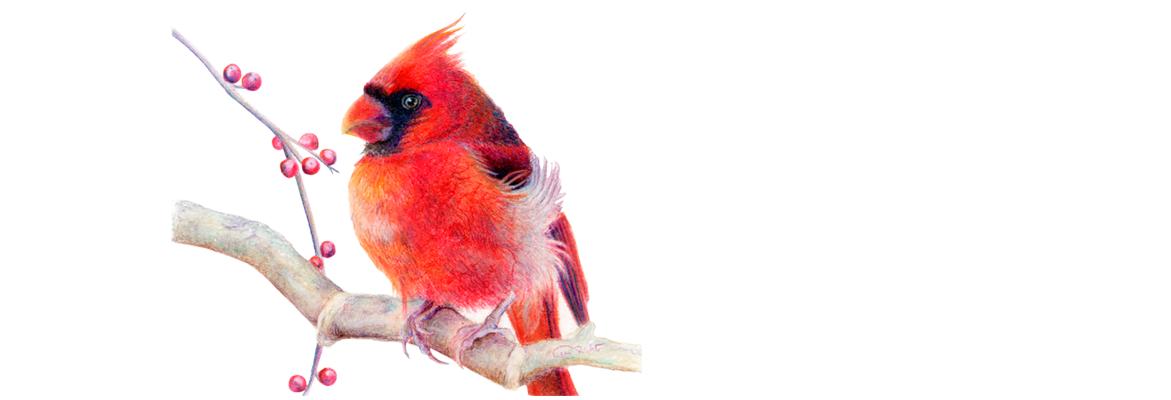 Northern Cardinal Artwork by Allison Richter Wildlife Artist