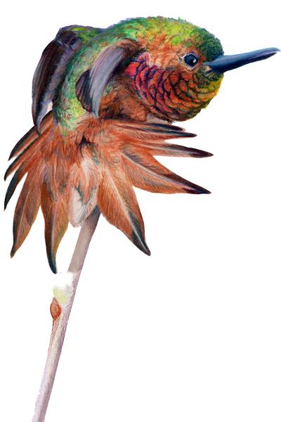 Rufus Hummingbird Artwork by Allison Richter