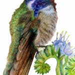 Coasta's Hummingbird Artwork by Allison Richter