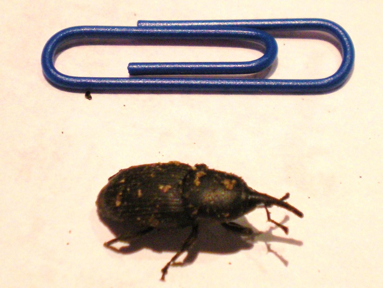 agave weevil