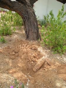 mesquite-dieback-2-741543