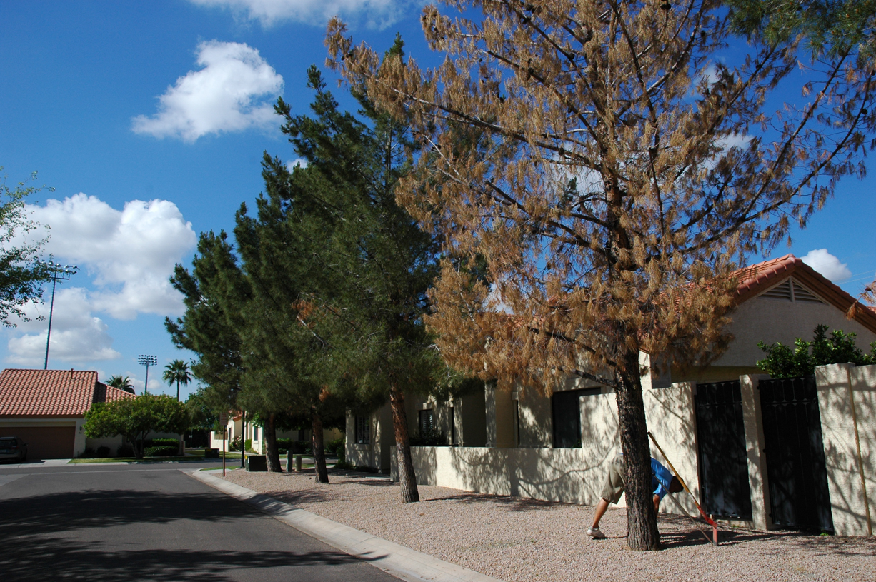 Pine trees declining due to insufficient irrigation after turf to granite conversion.