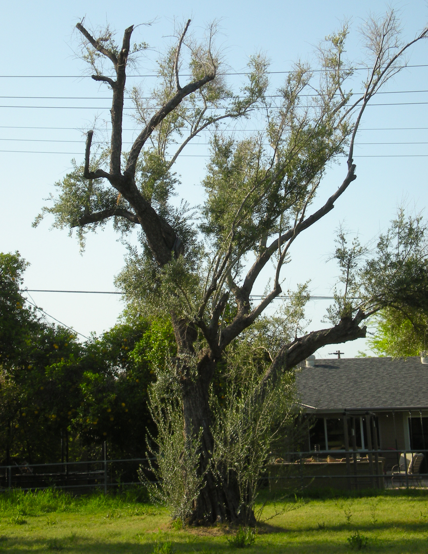 Older olive tree showing years of inconsistent watering and care.