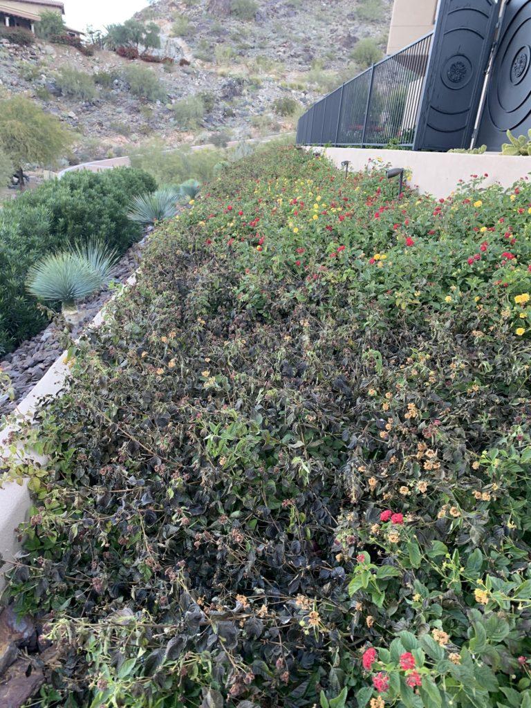 frost-damaged Lantana plants