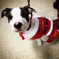 Pup in Santa Outfit