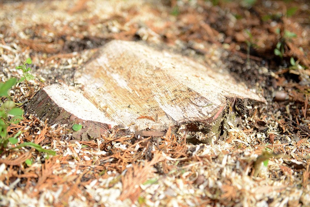 Cut a v-shaped notch in your stump to help the grinder chew up the tree.