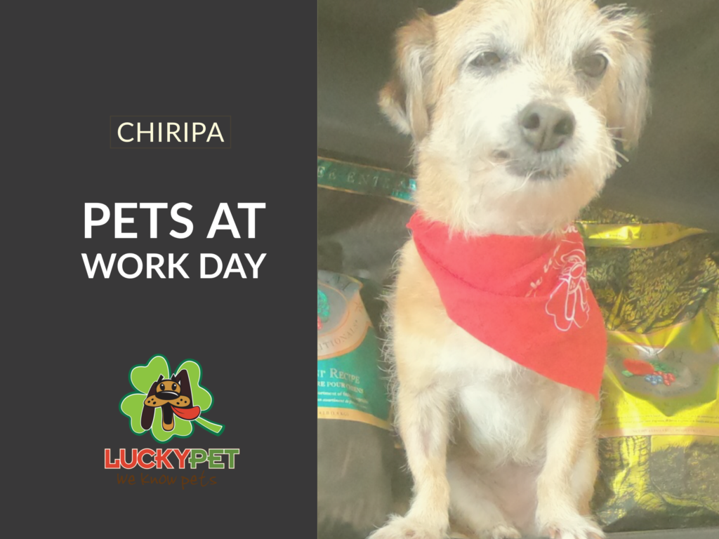 Chiripa at Take Your dog to Work 2019