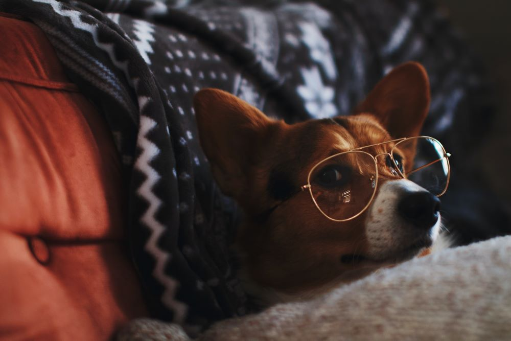 Puppy at home in bed with glasses on