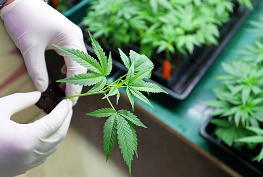 Client Notes- Proposed Cannabis Legislation Overview