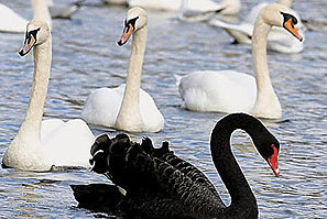 Building Science Sunday - Trumbull, CT - Swans