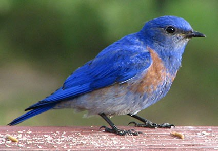 Bluebirds Have a Special Energy