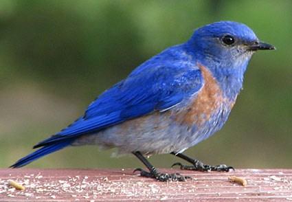 western_bluebird_1