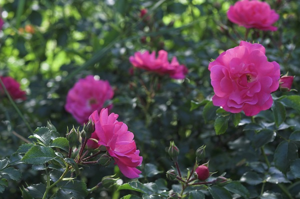 The Month of Roses,June