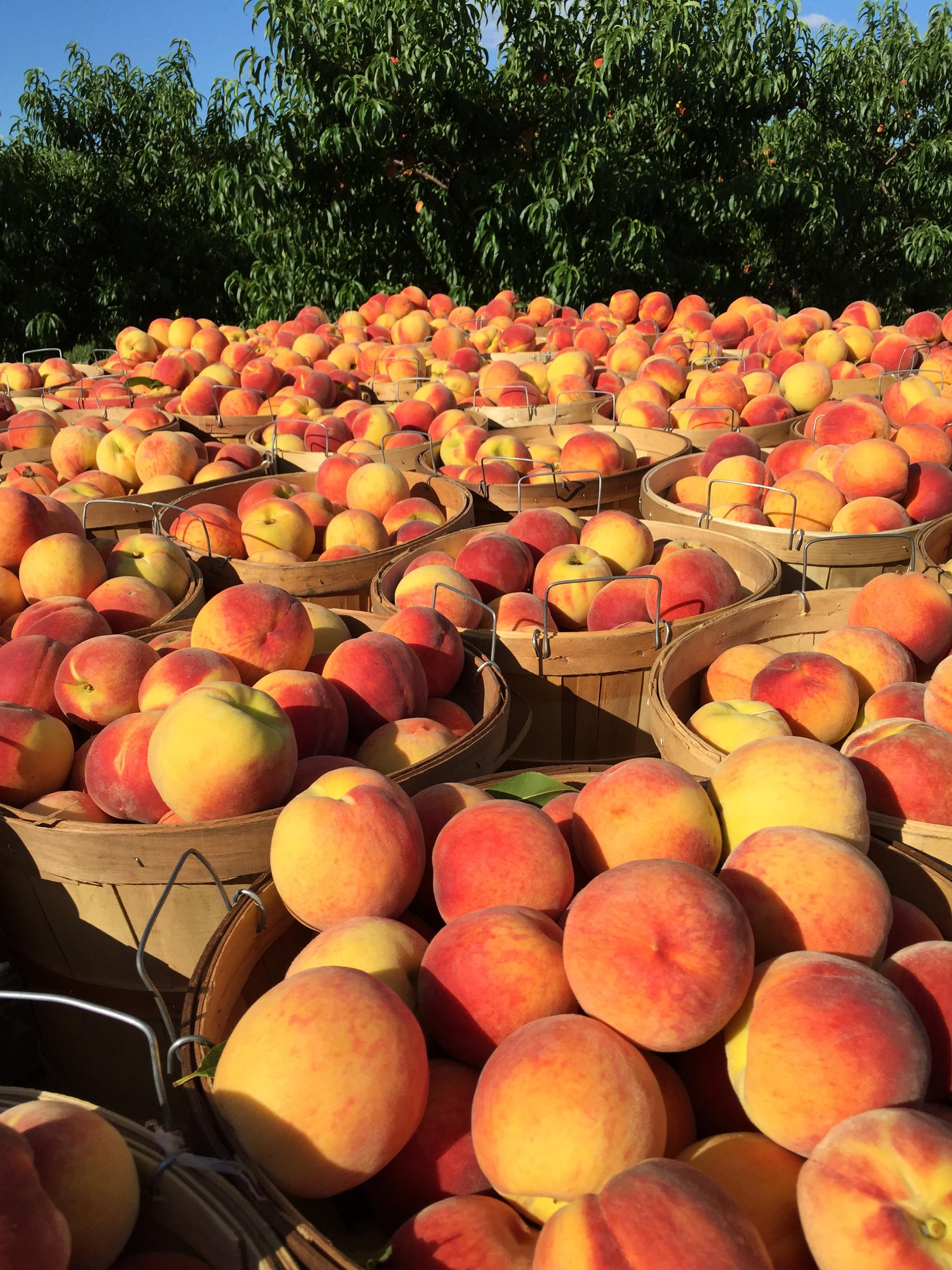 southwest michigan peaches
