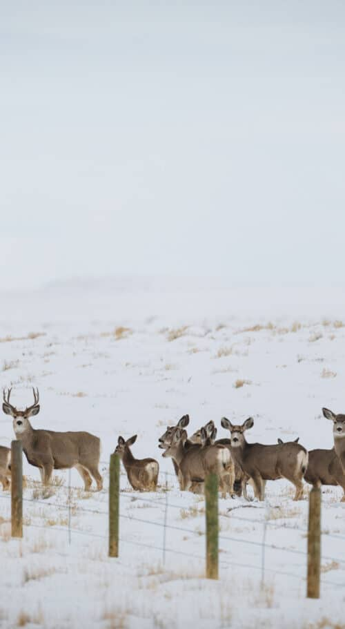 Migrating Deer Photo by David Frame