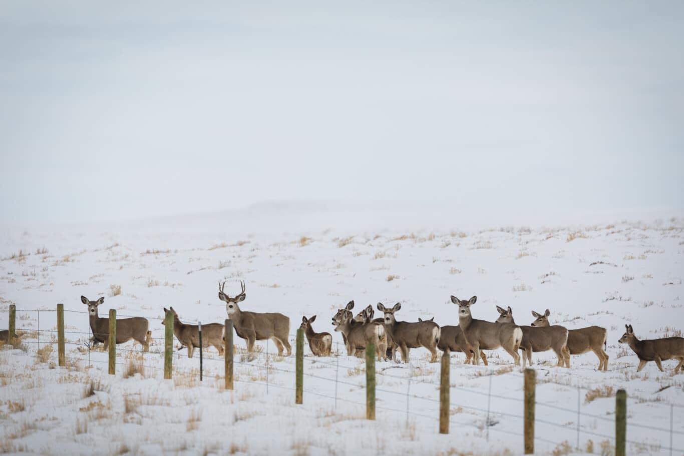 Migrating Deer Photo by David Frame