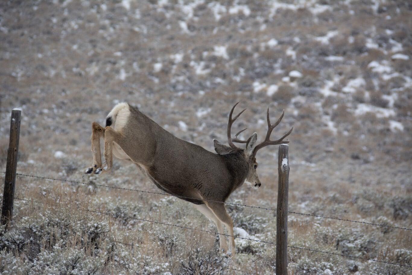 Deer Jumping Fence Red Desert To Hoback Migration