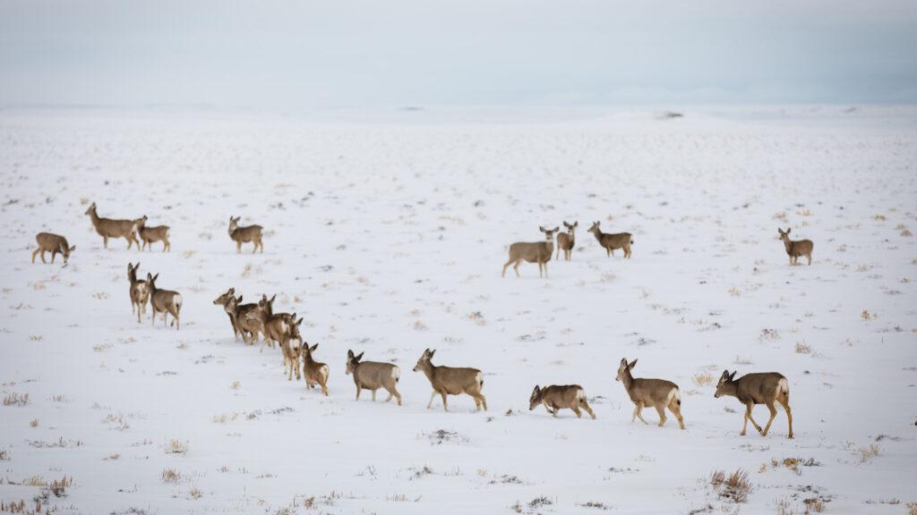 Migrating_Mule_Deer_David_Frame