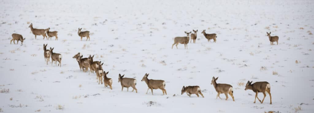 Migrating_Mule_Deer_David_Frame